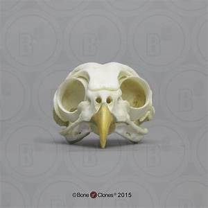 Barred Owl Skull - Bone Clones  Inc