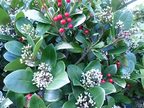 small evergreen shrub with berries green leaf shrub with red berries