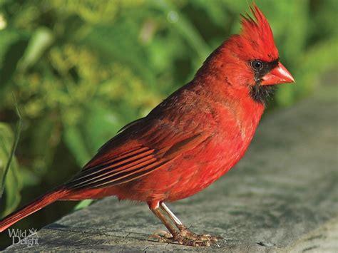 cardinal wild delightwild delight