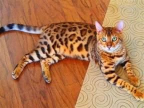 bengel cat 6 interesting bengal cat personality and temperament