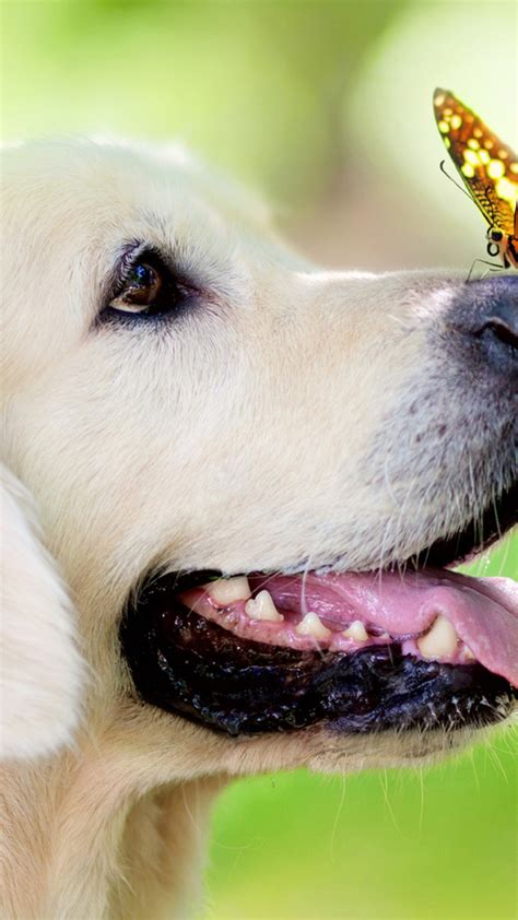 golden retriever butterfly muzzle green hd dog wallpaper