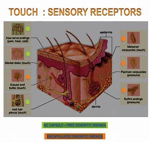 Special Senses  Pt  2  Flashcards