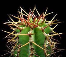 Cactus Sans Epine : pine wikip dia ~ Melissatoandfro.com Idées de Décoration