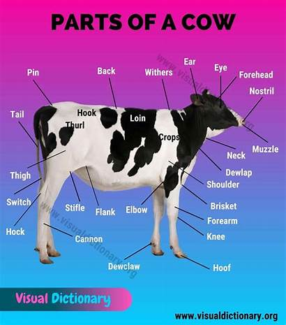 Cow Anatomy Parts External Different Withers Infographic