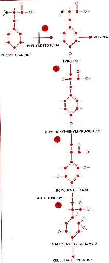 genetic screening  phenylketonuria biology