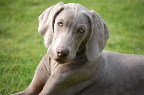 dogs that dont shed weimaraner weimaraner australian lover