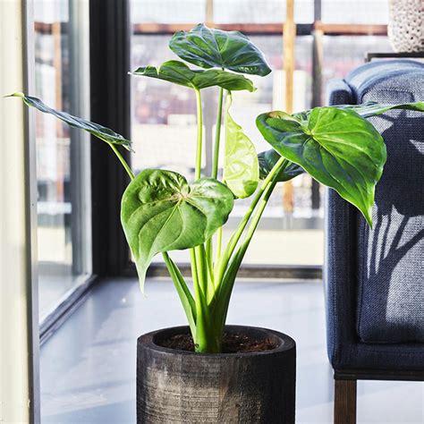 Pianta di gardenia jasminoides vaso 17cm. Idee per Arredare il Salotto con Piante da Interno ...