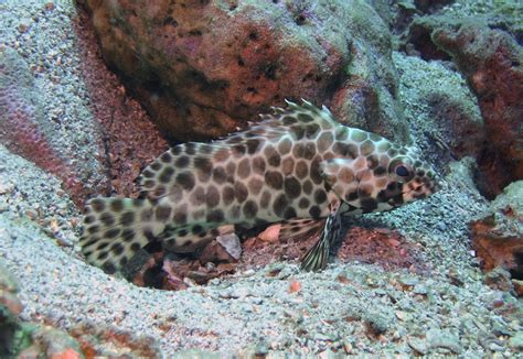 grouper honeycomb groupers thai scuba