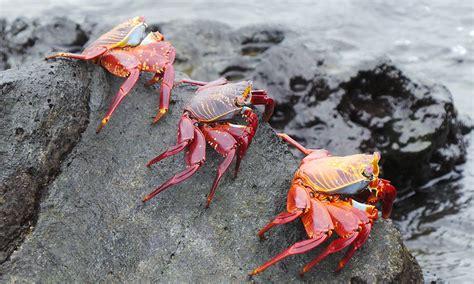 lightfoot sally crab galapagos crabs wildlife iguana ian conservation trust footed galapagosconservation