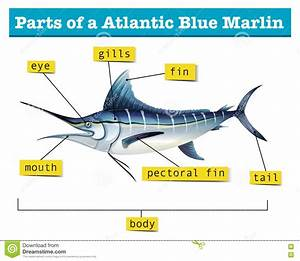 Diagram Showing Parts Of Atlantic Blue Marlin Stock Vector