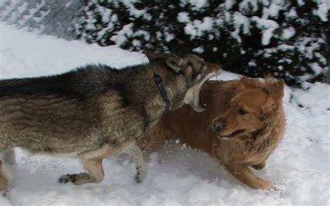 Wolf Attacks Golden Retriever Natural History