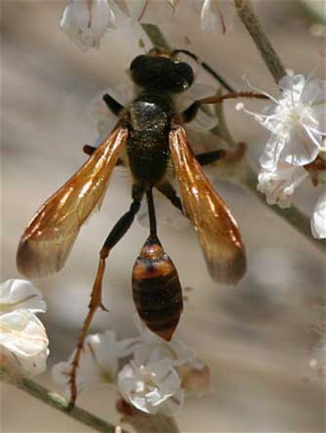 grass carrier wasp pictures