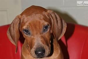 Meet AKC- RR Male CIrcle a cute Rhodesian Ridgeback puppy ...