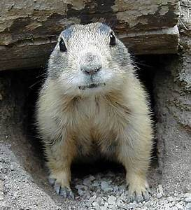Tuesday Gunnison's Prairie Dogs - Posting and Toasting