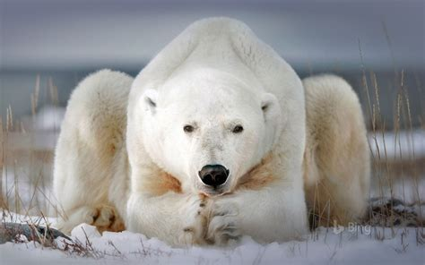 polar bear churchill manitoba canada  bing preview