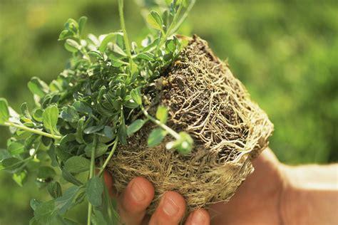 teasing  rootball  plants