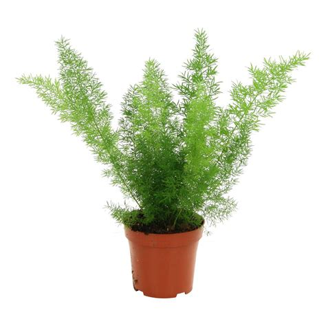 asparagus plante 216 12cm pot autres marques jardinerie truffaut