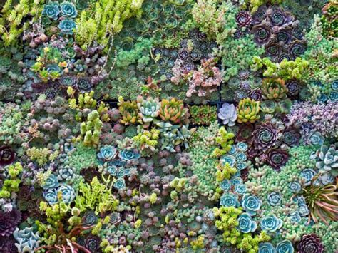 colorful ground cover sedum sarmentosum hgtv