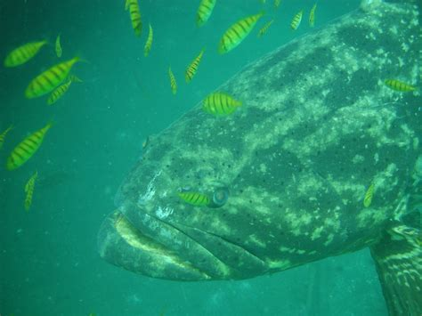 conservation status   pacific goliath grouper  colombia