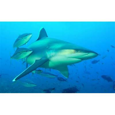 Silvertip SharksLife of Sea
