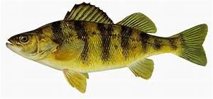 Take it Outside: Fish Iowa!: December 2014  Perch