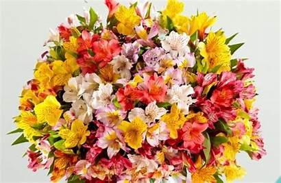 Peruvian Lilies Meaning Lily Flowers Flower Proflowers
