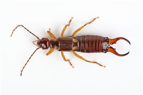 Images Of Earwigs Earwig Problems Pest Island Nyc