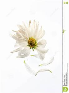 Daisy Petals stock image. Image of daisy, withered, petals ...