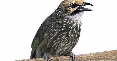 Cucak Daerah Burung Rowo Murai Ciri Asal