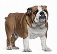 Englische Bulldogge | Stoppt Qualzucht!