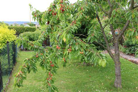 alte kirschbäume schneiden kirschbaum schneiden 4 schnitttechniken f 252 r 2 sorten