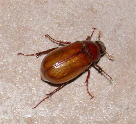 june bug june bug beetle family scarabaeidae