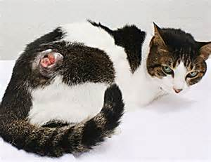 sarcoma in cats fibrosarcoma in cats is completely preventable