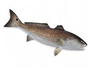 Redfish Pictures Clip Art
