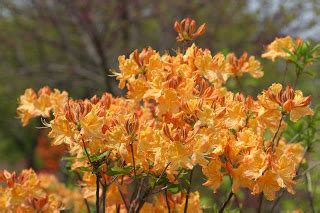 Golden Lights Azalea by Powell Gardens Azaleas America S Favorite Shrub