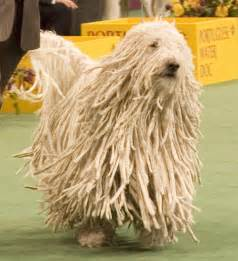 Dogs That Dont Shed Their Hair by Amazing Mop Dog