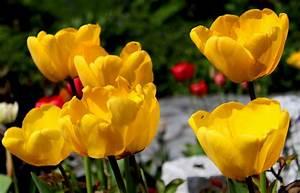 Tulpen Im Garten : bersicht tulpen garten wissen ~ A.2002-acura-tl-radio.info Haus und Dekorationen