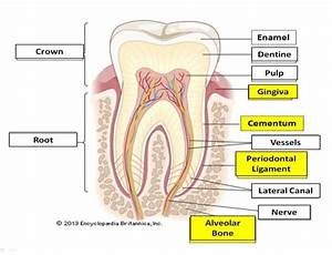 Obesity And Periodontal Diseases