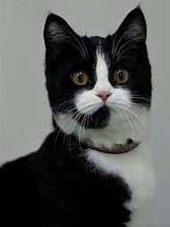 Black and White Tuxedo Cat Personality