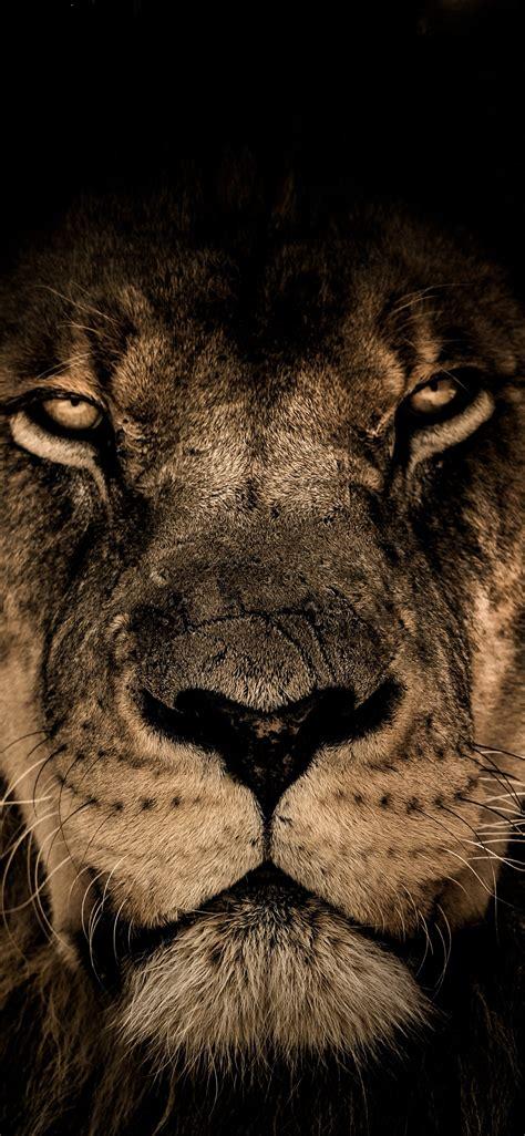 african lion face closeup  iphone xsiphone