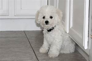 Small White Fluffy Dog - Litle Pups