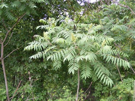 sumac trees random plant staghorn sumac the life of your time