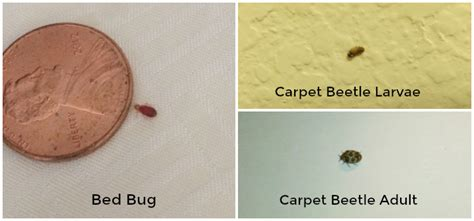 Closet Beetles by How To Tell The Difference Between Bed Bugs And Carpet
