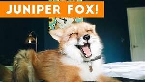 Funniest Juniper Fox Video Compilation | Funny Pet Videos ...  Funny
