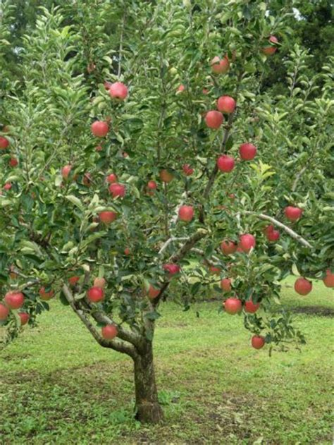 fruit trees  zone  selecting fruit trees  grow