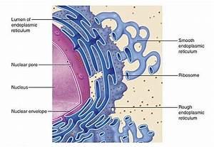 Smooth Endoplasmic Reticulum Function  Definition