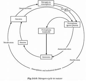 What Is The Importance Of Bacteria In The Nitrogen Cycle