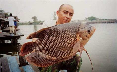 Bibit Ikan Gurame Salatiga mau budidaya ikan gurame baca ini supaya nggak salah