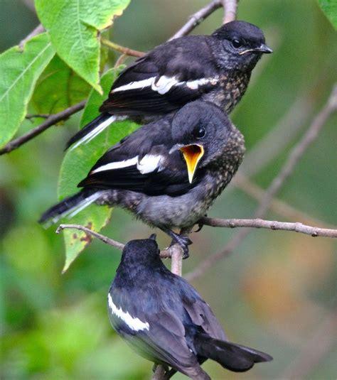 Cara membedakan burung flamboyan jantan serta betina semacam burung burung yang lain adalah dari warna paruh bawah. Cara Membedakan Kacer Jantan dan Betina Paling Akurat - Burungnya.com
