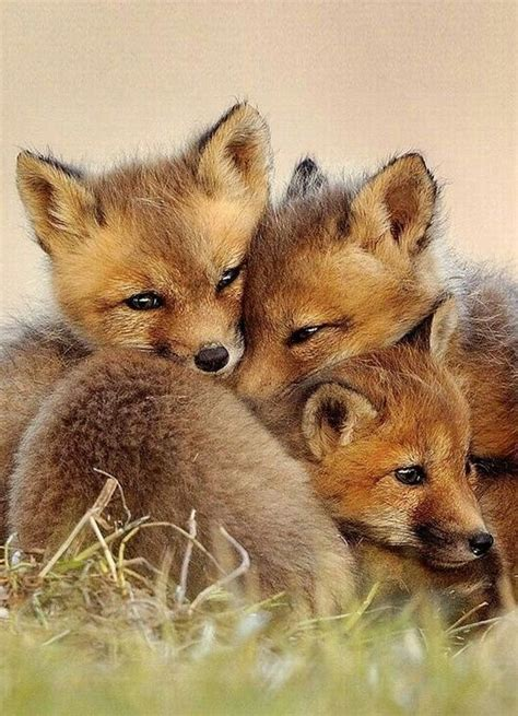 how cute pet foxes steal your heart baby fox baby animals kittens my and babies
